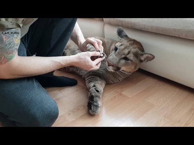 Маникюр для котов на дому. Manicure for cats at home