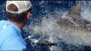 Giant Bull Sharks and Cobia! Totally Nuts!!! Jupiter, Fl