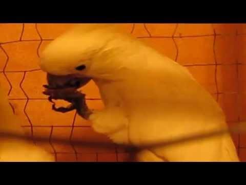Какаду колет грецкий орех