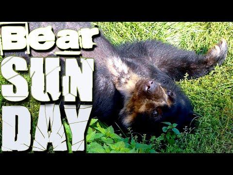 Paarung Brillenbär Sex (Tremarctos ornatus) Andenbär spectacled mountain bear FZ82 Ours à lunettes