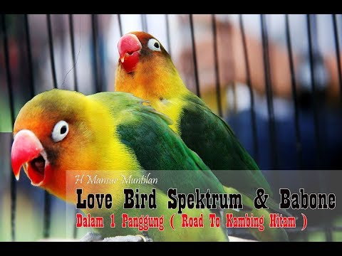 PANJI WIGUNA - Perang 2 Lovebird H Mansur, Babone & Spektrum Borong Kemenangan Di Kambing Hitam Cup