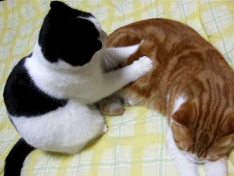 Japanese style cat massage