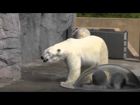 2011年5月28日 旭山動物園 ホッキョクグマのルルとピリカ