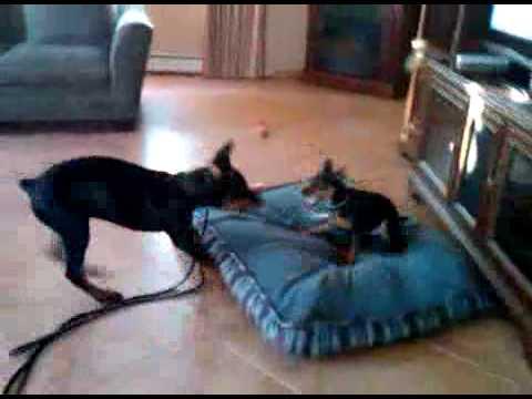 Doberman Pinscher Puppy 3 Months 4 Month Old Doberman Puppy