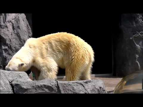 2011年7月28日 旭山動物園 寝ているルルと歩くピリカ2