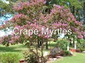 Sunset Red Maple Trees We sell into Central NJ