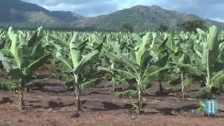 VIDEO - Haiti Agriculture - Haiti pare pou EXPORTE Bannan a Gogo gras ak AGRITRANS