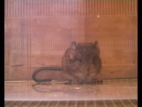 Elephant shrew (Macroscelides proboscideus).