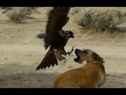 how to draw a golden eagle eating deer