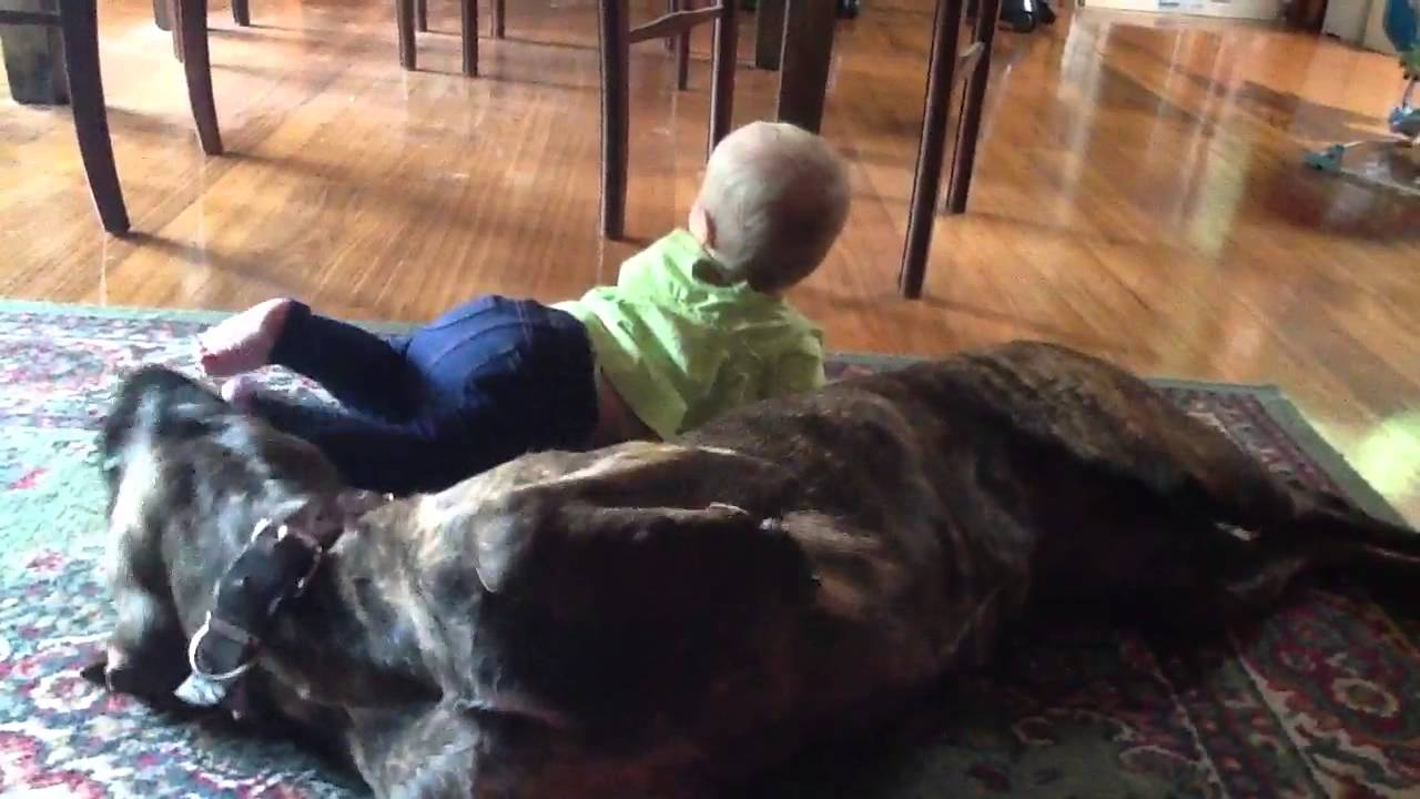 Baby and bullmastiff x Labrador - YouTube