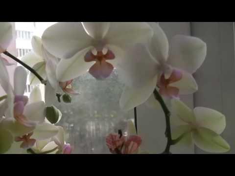 обзор моих домашних любимых   цветочков.