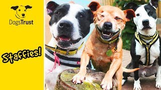 Super Staffies! Staffordshire Bull Terriers Looking for Homes 💛🐶| Dogs Trust