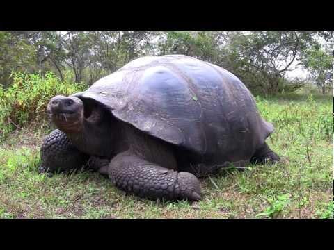 Giant Galapagos Tortoise (extreme closeup!)