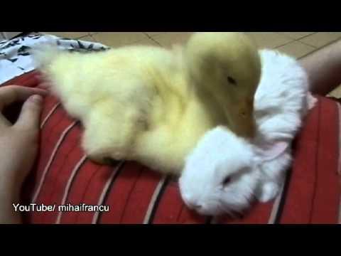 Duckling Meets Bunny