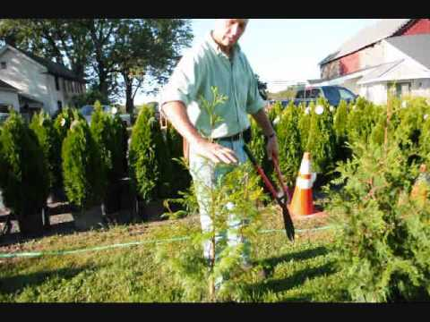 See This Xxx Video On Great Trees .... Norway Spruces And... video
