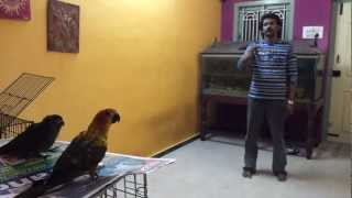 Free Flight conure training process in (Preethi Farms)