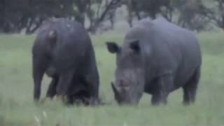 Rhino Kills African Buffalo (As Seen On NatGeo Wild)