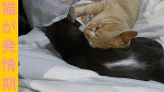 【可愛い】早朝から発情期で鳴くドコモ猫、眠さを抑えつつ綿棒で落ち着かせる