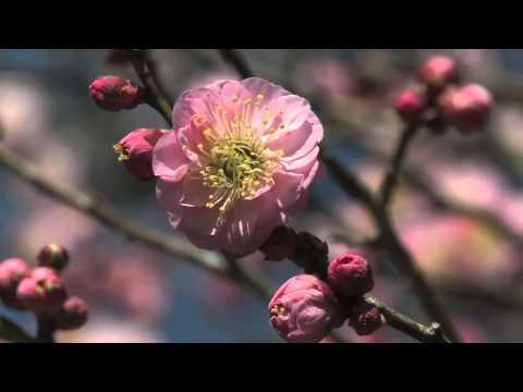 関ケ原町 「聖蓮寺」 ~八房梅の花~