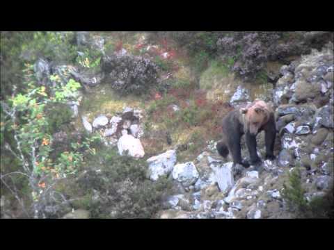 Oso pardo macho en el Puerto de Leitariegos, Asturias