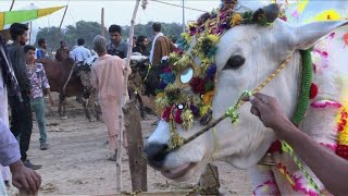 Download Pakistan livestock market abuzz ahead of Eid 3Gp Mp4