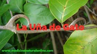 LA UÑA DE GATO - PROPIEDADES - LAS PLANTAS CURATIVAS