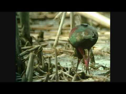 WI Birds: White-Faced Ibis