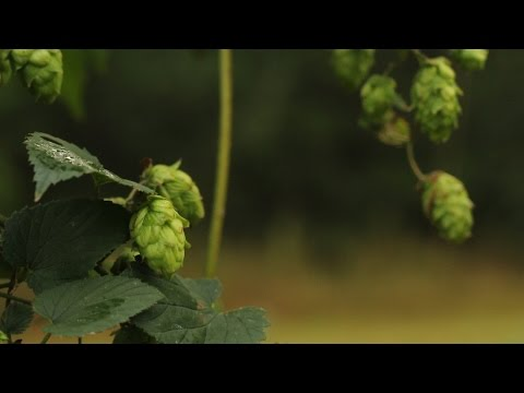 Undergraduate Student Research Project on Hops Fertility