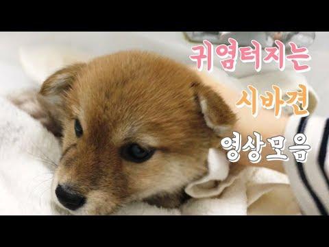 시바견 아기때부터 모아온 귀여운 영상모음 shiba inu 柴犬 이폼이네 시바견 모카