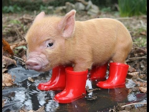 Al Qaeda Attacks Internet With Photo Of Adorable Piglet