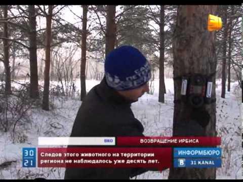 Снежный барс вернулся в Восточный Казахстан
