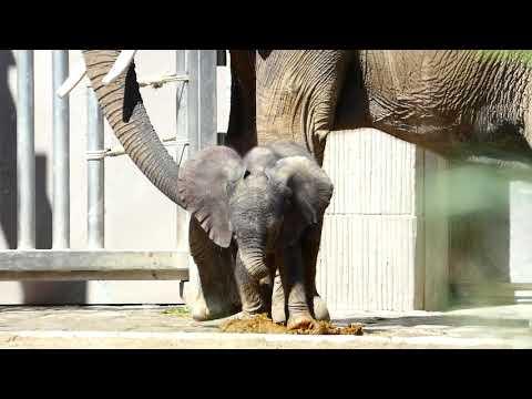 Elefanten Baby in Schönbrunn geboren am 13. 7. 2019! 9 Tage alt! Kibali. Elephantida – Lumix fz82/83