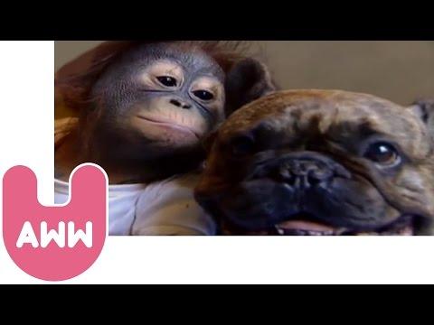 Bulldog és Orengután puszi