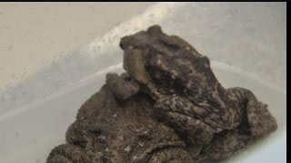 Population of poisonous cane toad continues to grow on Sanibel