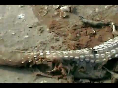 Alligator Found In South Padre Island