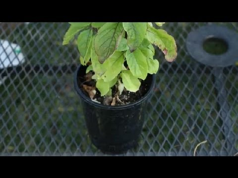 How to Grow Tulsi Basil : Planting Herbs