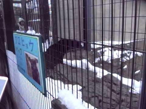 旭山動物園のクロヒョウ