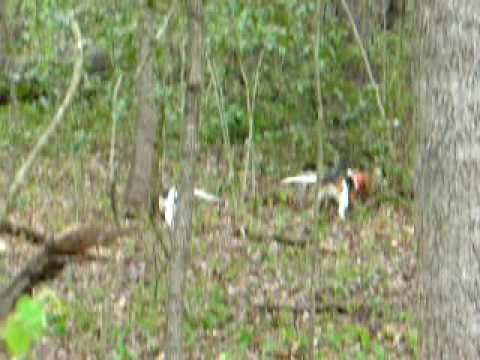 beagle Rabbit Hunting Video