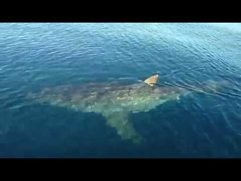 20 FOOT Great White Shark Stalking Fishing Boat!!  Scary Footage