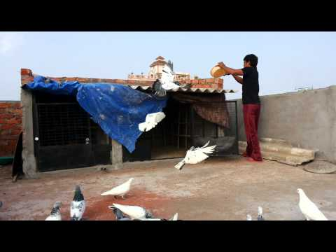 High flying pigeon frm india hyderabad shabaz khan