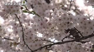 【日本の桜】岩手県 北上展勝地の桜