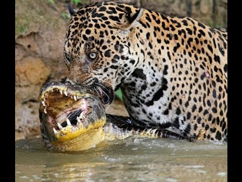 Crocodile vs Tiger