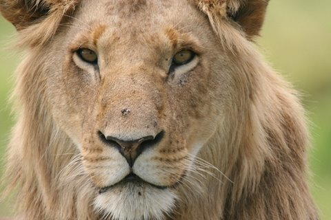 VIDEO Rewarded by WWF (2008) How long can the Lion roam its kingdom? With lion populations dropping (recent data shows numbers between 20000 to 25000) and ...