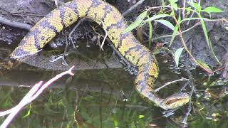 Eastern cottonmouth in NC