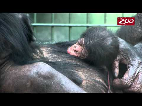 NEW BABY BONOBO JUST IN TIME FOR THE NEW YEAR