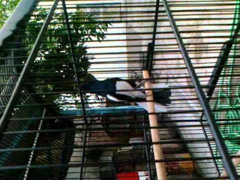 Kicau Burung Kacer Juara