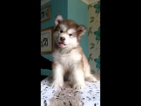 頭をふりふりするアラスカン・マラミュートの子犬がキュート!