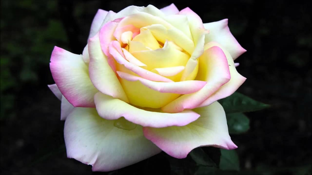 Цветы роза фото с названиями