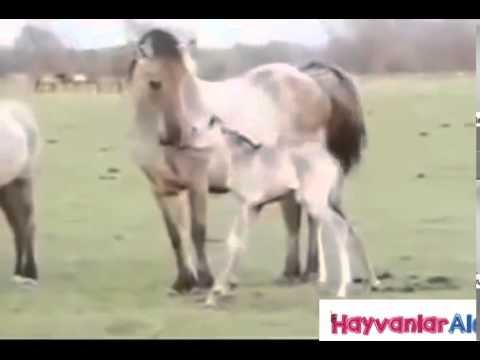 Horse Mating With Horse Woman Up Close - Animals Mating Hard And Fast Like Human video