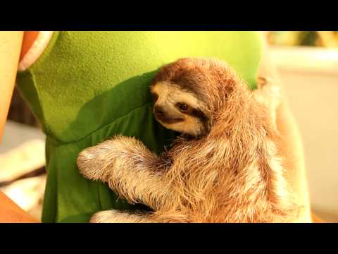Baby Sloths Being Sloths  FUNNIEST Compilation